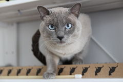 Blue Siamese Cat - Looking at the camera Stock Photos