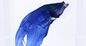 Blue siamese fighting fish. Siamese fighting fish (Betta splendens) looking for food Royalty Free Stock Images