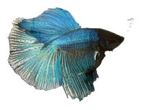 Blue Siamese fighting fish Royalty Free Stock Photo
