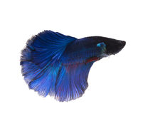 Blue siamese fighting fish, betta fish isolated on white backgro Royalty Free Stock Image