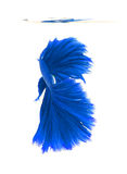 Blue siamese fighting fish, betta fish isolated on white backgro. Und royalty free stock photos
