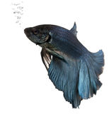 Blue Siamese fighting fish, Betta Splendens Royalty Free Stock Images