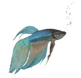 Blue Siamese fighting fish - Betta Splendens Royalty Free Stock Image