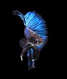 Blue siamese fighting fish,halfmoon betta fish isolated on blac Stock Photography