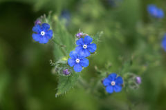 Blue Siberian Bugloss Flower Royalty Free Stock Photos