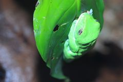 Blue-sided treefrog. On the leaf royalty free stock photos