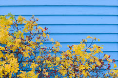 Blue Siding in Autumn. A shrub in fall colors in front of blue siding Royalty Free Stock Photography