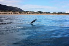 Dolphin jumping out of water in the ocean near beach Royalty Free Stock Images