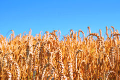 Blue Skies over wheatfield Royalty Free Stock Photography