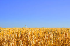 Blue Skies over wheatfield Royalty Free Stock Photo