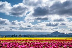 Blue skies and prominent clouds hover over colorful tulip fields royalty free stock photography