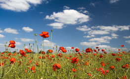 Blue skies and red poppy field Royalty Free Stock Photo