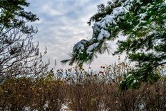 Blue skies and snow on the bushes Stock Photo