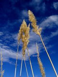 Blue sky. Reed on sky background Royalty Free Stock Photos