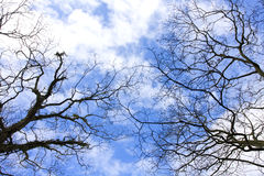 Blue sky. Birches in winter with natural blue sky Royalty Free Stock Photo
