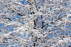 Blue sky. Winter tree Stock Photography