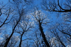 Blue sky 2. Blue sky above the Fruška gora viewed through the winter crown of trees Stock Photography