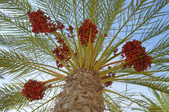 Red Dates Palm Tree Palms Stock Image