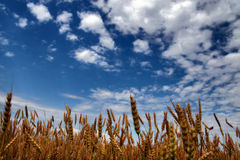 Blue sky above rye field Royalty Free Stock Photo