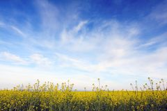 Blue sky against yellow field Royalty Free Stock Images