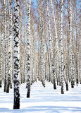 Blue sky in april birch grove Stock Photos