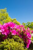Blue sky and azalea Stock Images