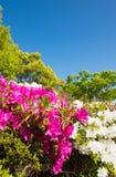 Blue sky and azalea Stock Photography