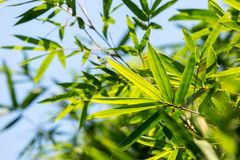 The blue sky background of bamboo Royalty Free Stock Photos