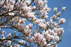 Magnolia tree in blossom with wonderful flowers in pink and white colors - springtime beauty Royalty Free Stock Photography