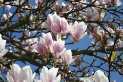 Magnolia tree in blossom with wonderful flowers in pink and white colors - springtime beauty Stock Photos