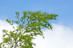 Blue sky bamboo branches silhouette Stock Photography