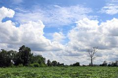 Beautiful blue sky with clouds for background and bright lighting clear on Summer and green forest Cassava plantation bottom. Blue sky Beautiful with clouds for stock photo