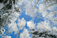 Blue sky in beautiful winter forest Royalty Free Stock Image