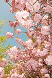 Blue sky and blossoms Royalty Free Stock Image