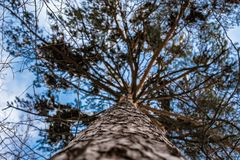 The blue sky through the branches of fir in winter royalty free stock image