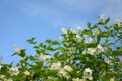 Blue sky and bush with a lot of spring flowers. Bush with a lot of spring flowers at the blue (and partially clouded) sky background royalty free stock image