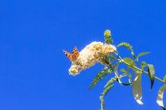 Blue sky butterfly Stock Photos