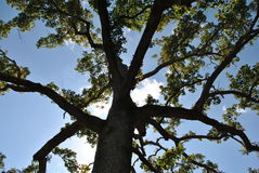 Blue sky through a cedar tree Royalty Free Stock Photography