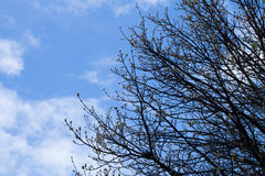 Blue sky and cloud with tree branch in winter Stock Images