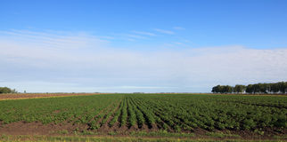 Blue sky with clouds above the potato a field. Royalty Free Stock Image