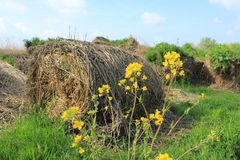 Blooming coleseed and bales of hay in the park in spring. Blue sky with clouds and the bales of hay with blooming coleseed are in the grassland of the farmer in stock photo
