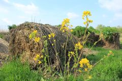 Blooming coleseed and bales of hay in the park in spring. stock photography