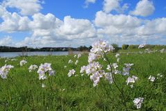 Blue sky with clouds and cuckoo flowers in the grass in the park in spring. Stock Photography
