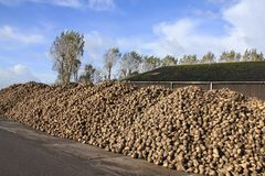 Blue sky with clouds and many sugar beets on a heap. Blue sky with clouds, a tree, a barn and many sugar beets on a heap at the countryside on a Sunny day in Stock Photography