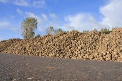 Blue sky with clouds and many sugar beets on a heap. Blue sky with clouds, a tree, a barn and many sugar beets on a heap at the countryside on a Sunny day in Royalty Free Stock Photography
