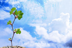 Blue sky with clouds and money tree. Blue sky with white clouds and money tree stock photo