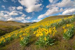 Field filled with beautiful yellow flowers in the spring time stock photography