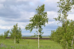 Blue sky and clouds over young birch  meadow. Royalty Free Stock Photos