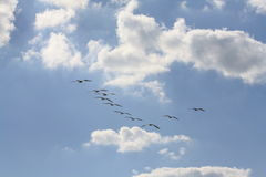 Blue Sky With Clouds & Pelicans Royalty Free Stock Photography