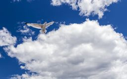 A Solitaire Flying Seagull royalty free stock photos